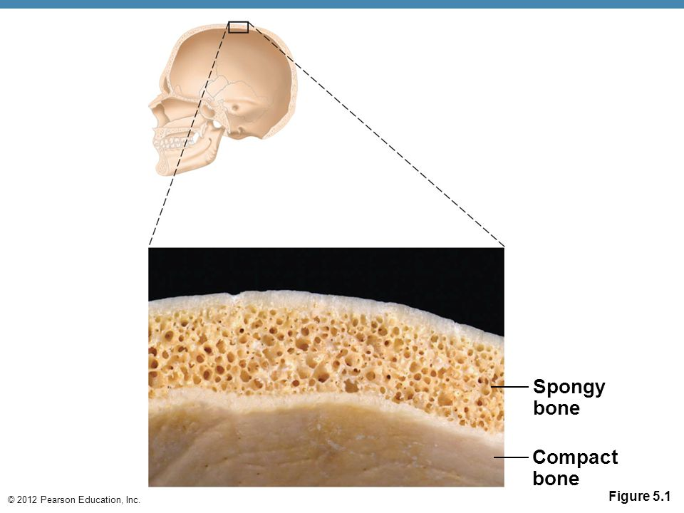 Spongy bone Compact bone Figure 5.1