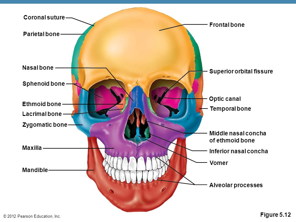 Optic canal anatomy