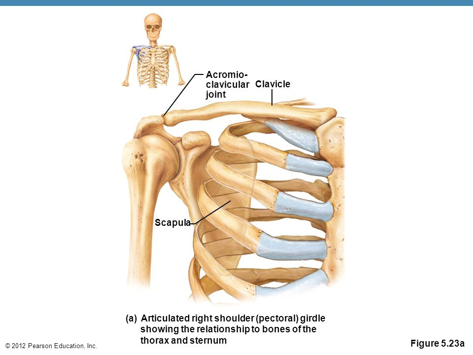 Acromio- clavicular joint. Clavicle. Scapula. (a) Articulated right shoulder (pectoral) girdle.