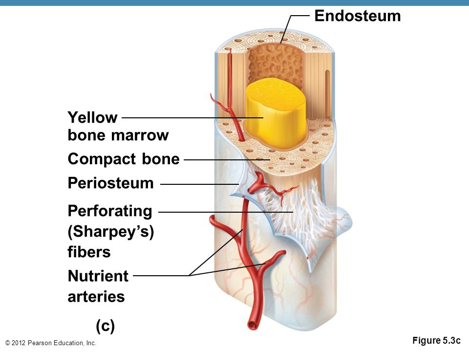 Endosteum Yellow bone marrow Compact bone Periosteum Perforating