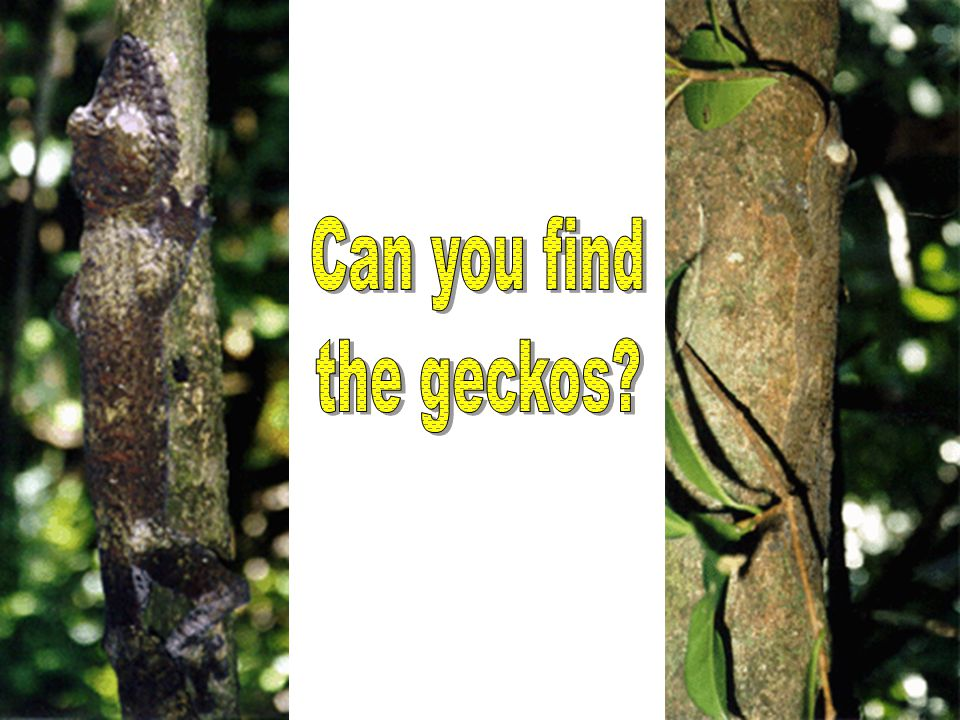 Can you find the geckos