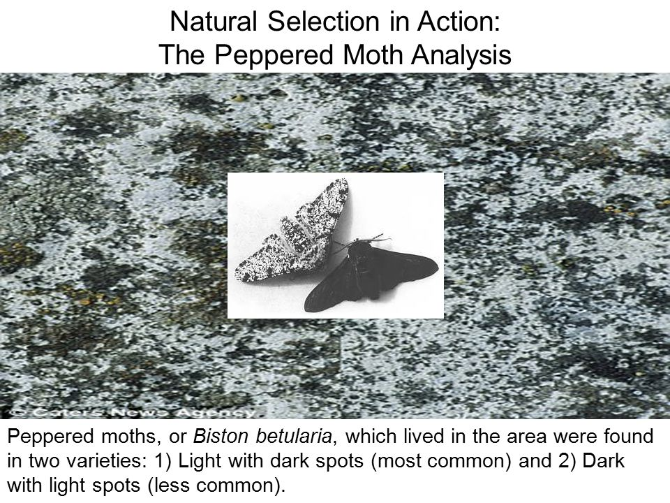 Natural Selection in Action: The Peppered Moth Analysis
