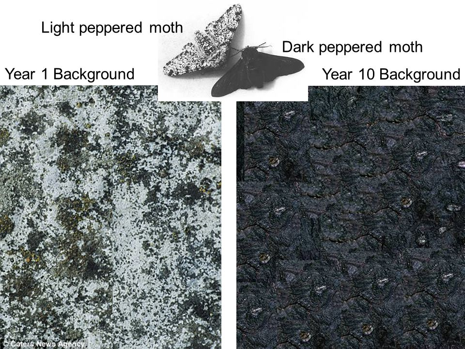 Light peppered moth Dark peppered moth Year 1 Background Year 10 Background