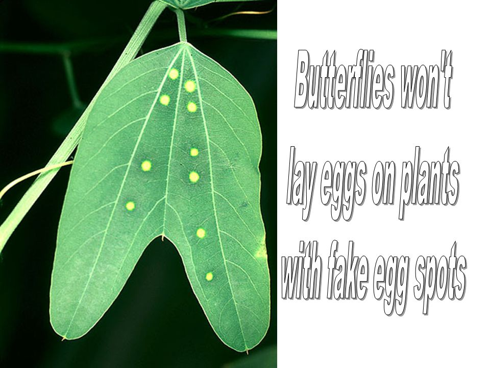 Butterflies won t lay eggs on plants with fake egg spots