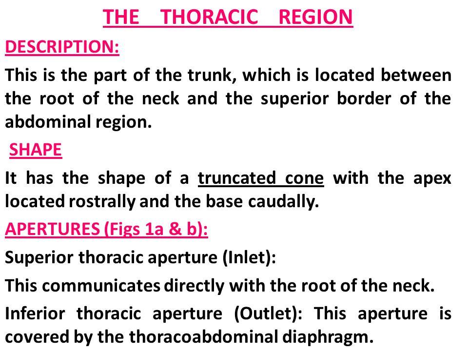 THE THORACIC REGION DESCRIPTION: