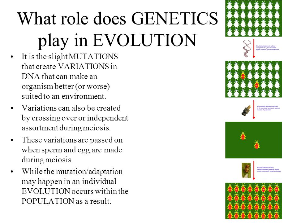 What role does GENETICS play in EVOLUTION
