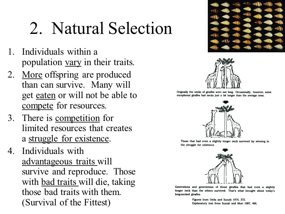 2. Natural Selection Individuals within a population vary in their traits.