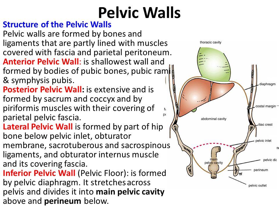 Pelvic Walls