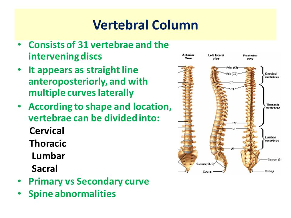 Anatomy of vertebral column