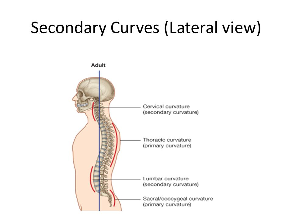 Secondary Curves (Lateral view)