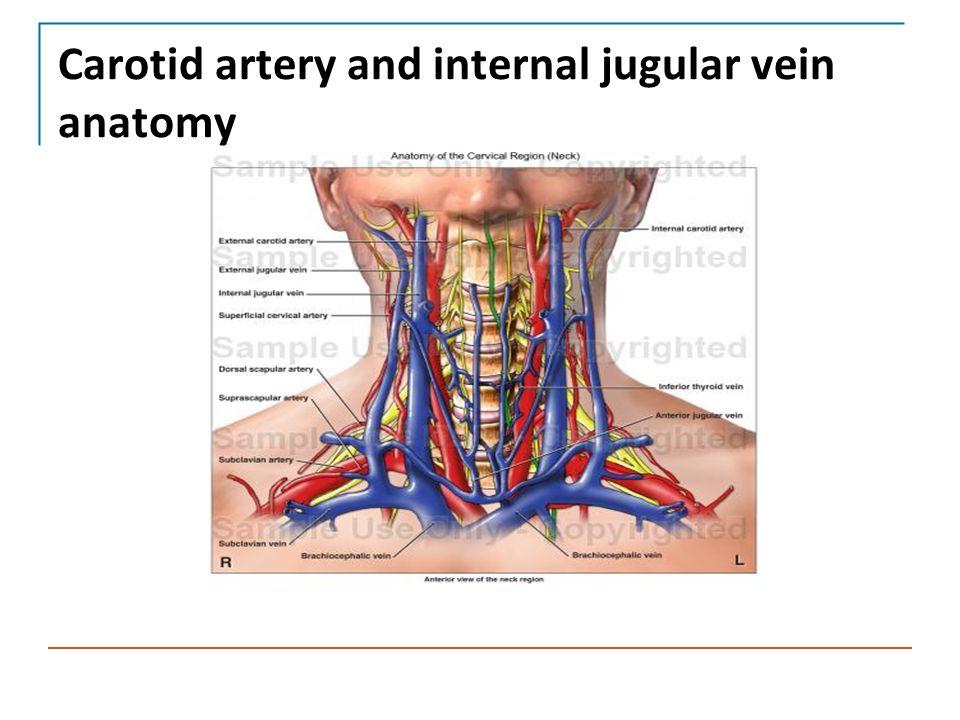 Carotid artery and internal jugular vein anatomy
