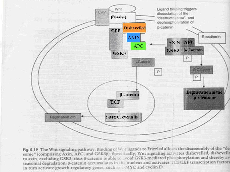 APC GSK3 GSK3 β catenin TCF