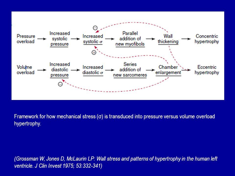 Framework for how mechanical stress (σ) is transduced into pressure versus volume overload hypertrophy.