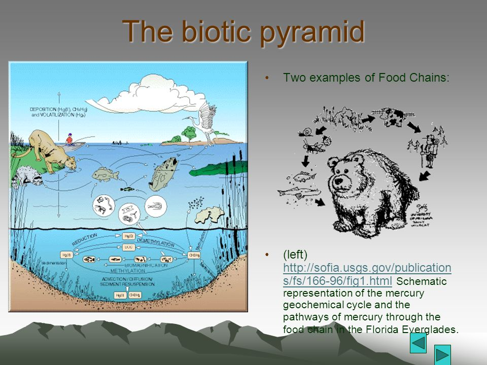The biotic pyramid Two examples of Food Chains: