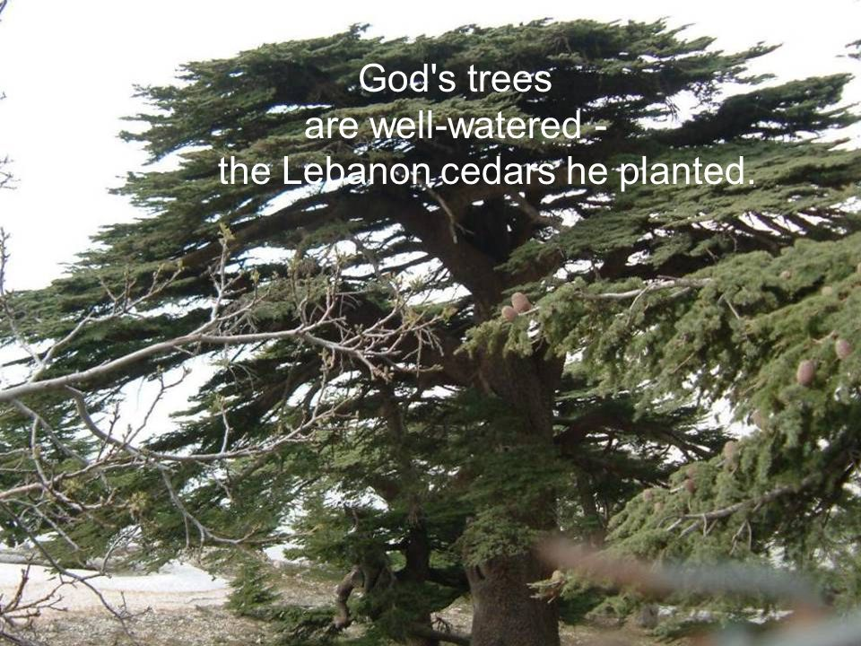 are well-watered - the Lebanon cedars he planted.