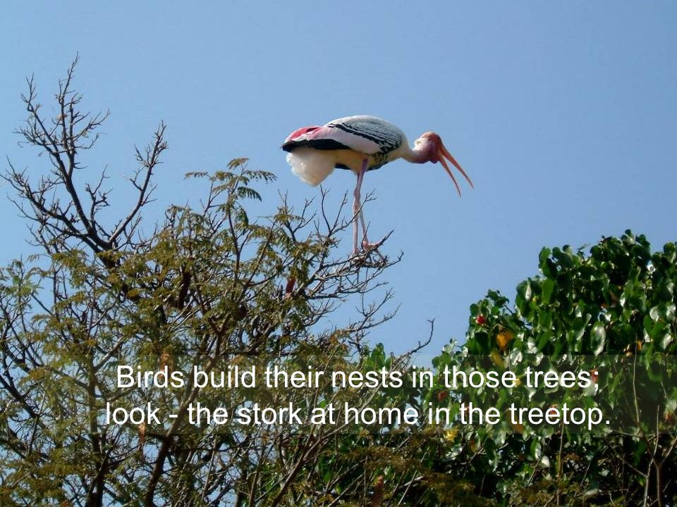 Birds build their nests in those trees; look - the stork at home in the treetop.