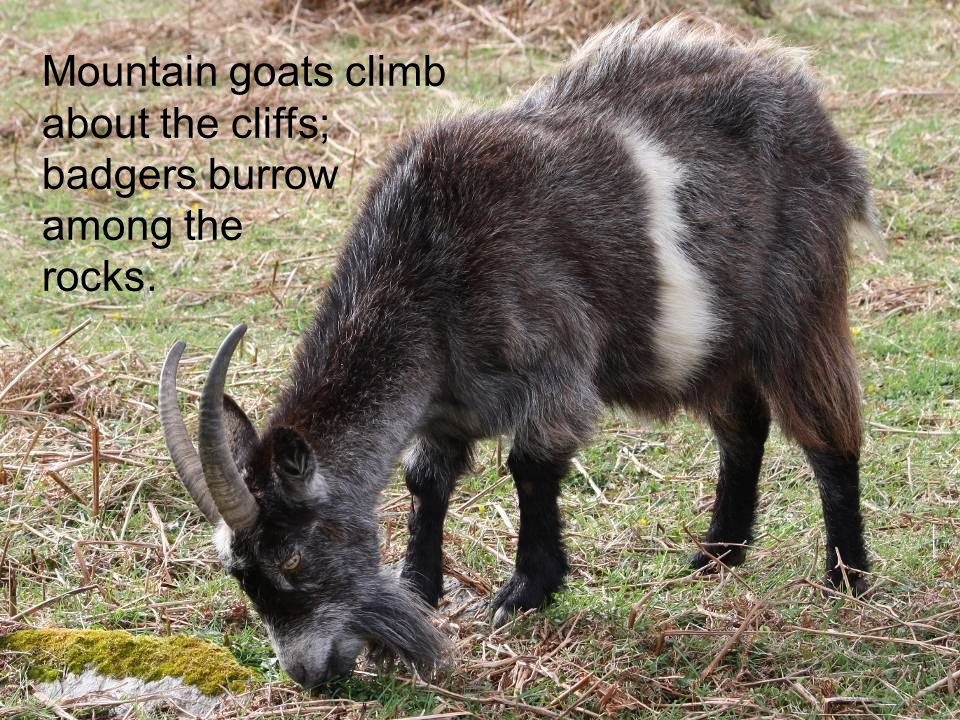 Mountain goats climb about the cliffs;