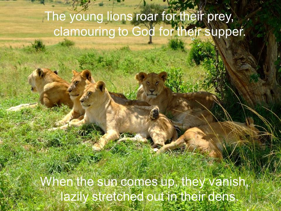 The young lions roar for their prey, clamouring to God for their supper.