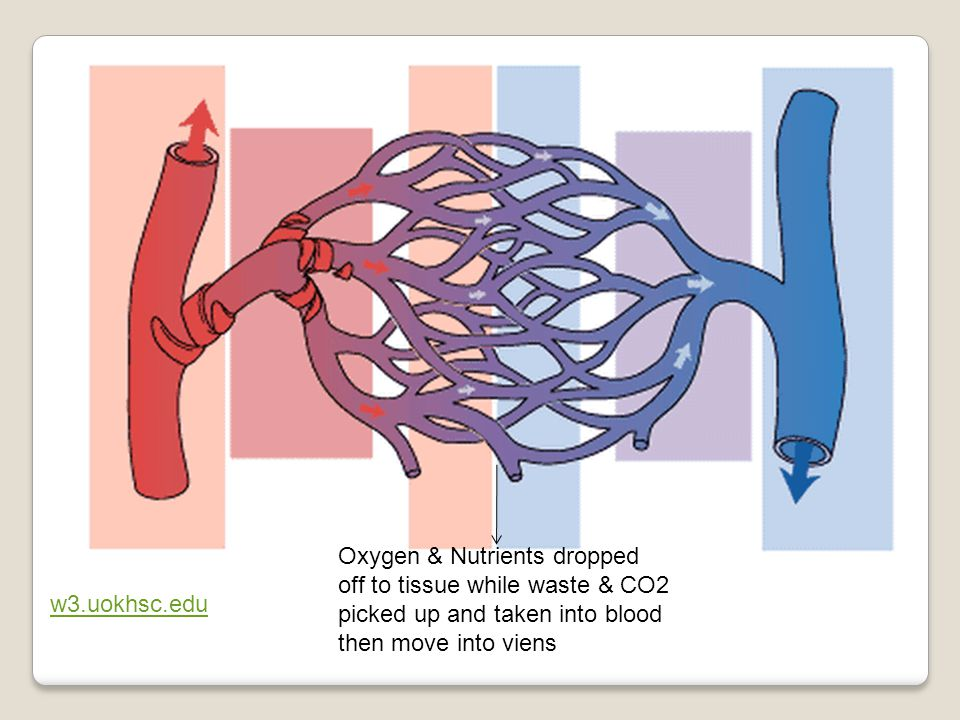 Oxygen & Nutrients dropped off to tissue while waste & CO2 picked up and taken into blood then move into viens