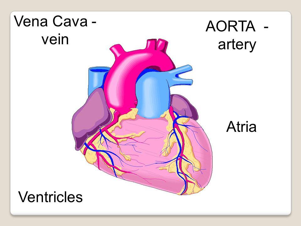 Vena Cava - vein AORTA - artery Atria Ventricles