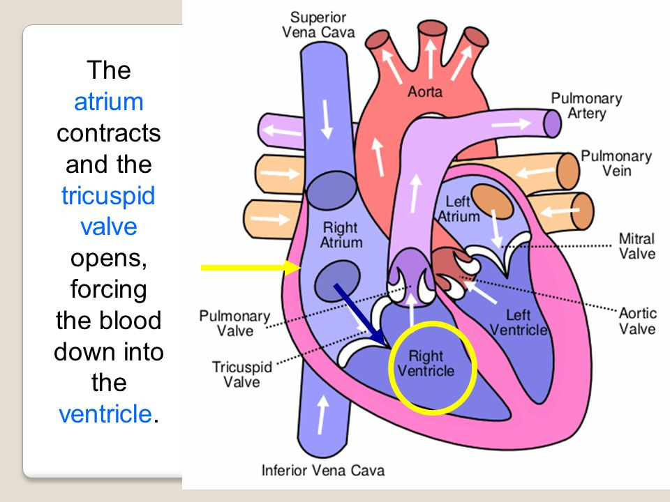 The atrium contracts and the tricuspid valve opens, forcing the blood down into the ventricle.