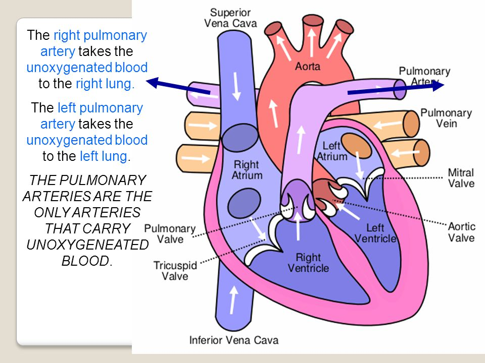 The right pulmonary artery takes the unoxygenated blood to the right lung.