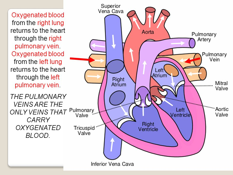 THE PULMONARY VEINS ARE THE ONLY VEINS THAT CARRY OXYGENATED BLOOD.