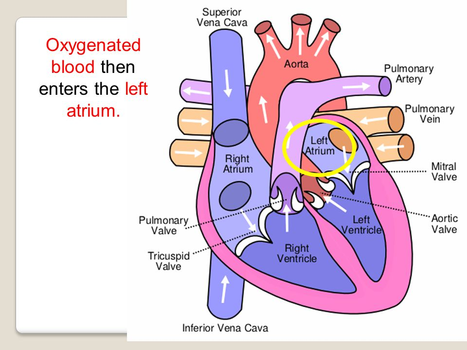 Oxygenated blood then enters the left atrium.