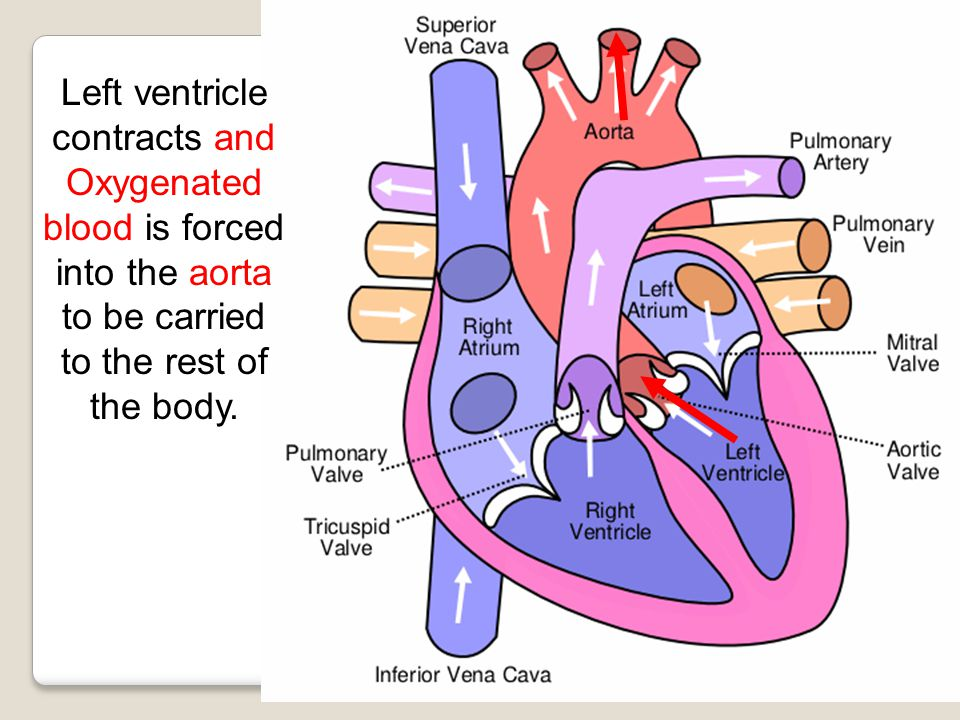 Left ventricle contracts and Oxygenated blood is forced into the aorta to be carried to the rest of the body.