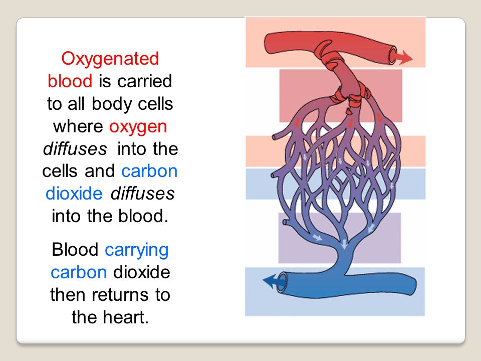 Blood carrying carbon dioxide then returns to the heart.