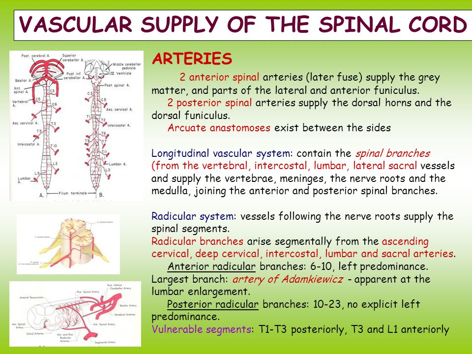 VASCULAR SUPPLY OF THE SPINAL CORD
