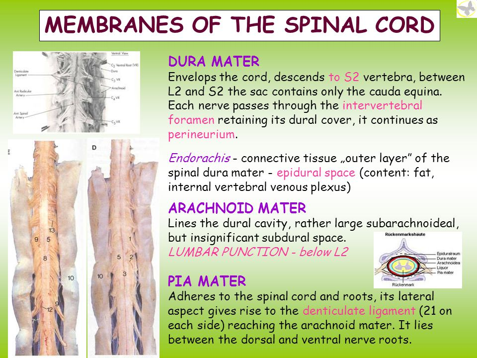 MEMBRANES OF THE SPINAL CORD
