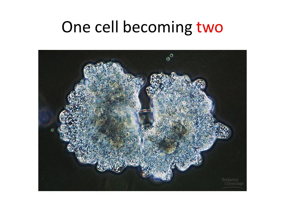 One cell becoming two