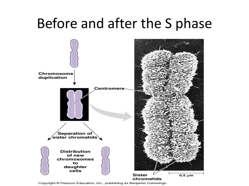 Before and after the S phase