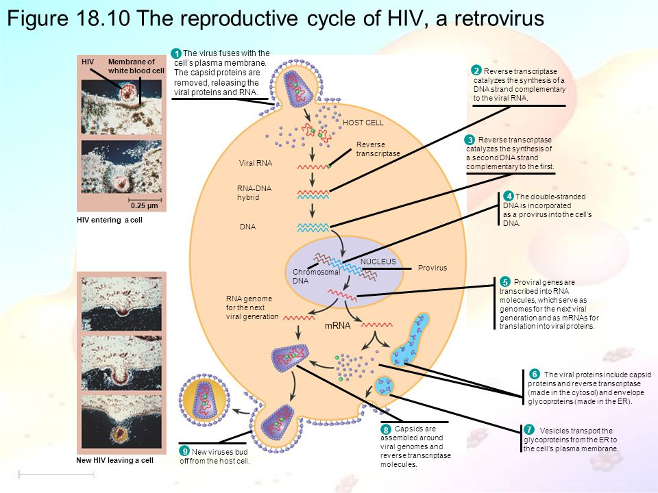 Figure 18.10 The reproductive cycle of HIV, a retrovirus