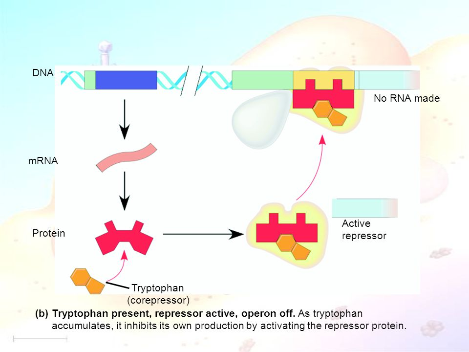 DNA mRNA. Protein. Tryptophan. (corepressor) Active. repressor. No RNA made. Tryptophan present, repressor active, operon off. As tryptophan.
