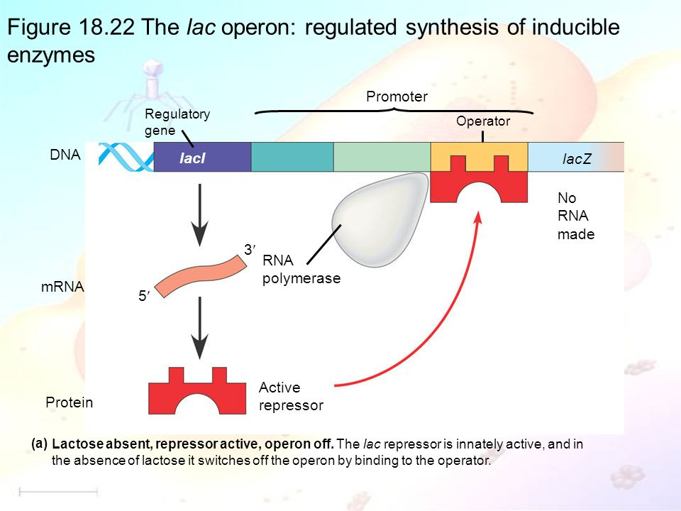 Figure 18.22 The lac operon: regulated synthesis of inducible enzymes
