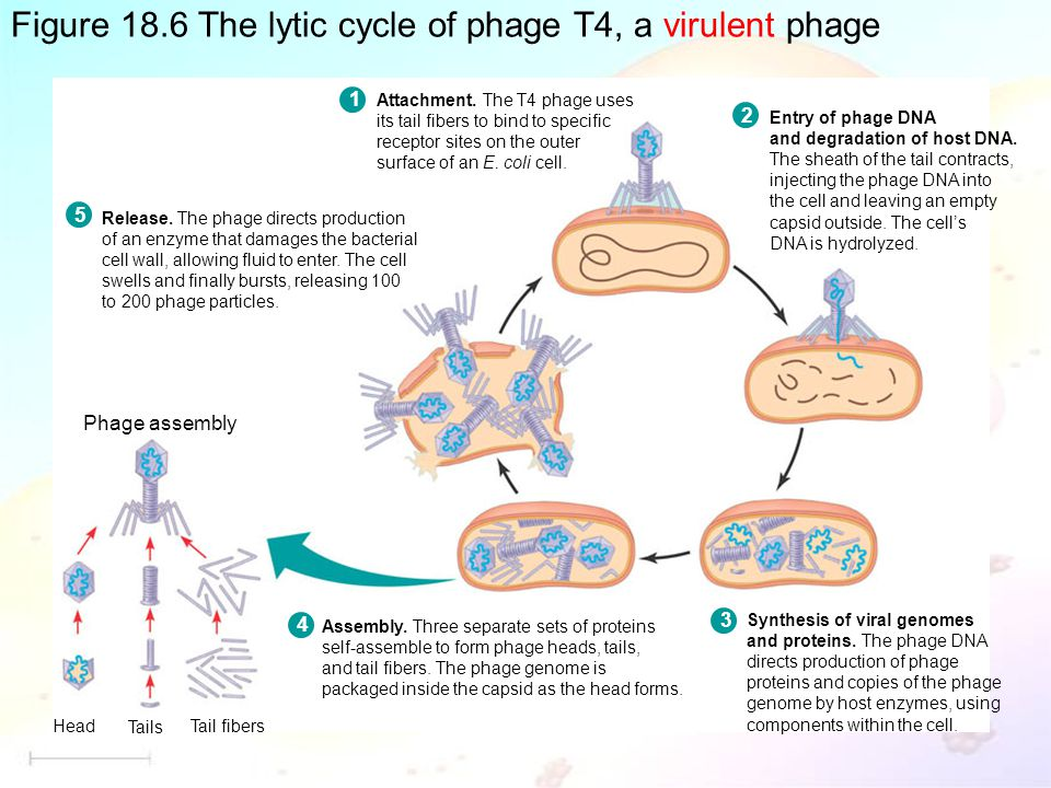 Figure 18.6 The lytic cycle of phage T4, a virulent phage