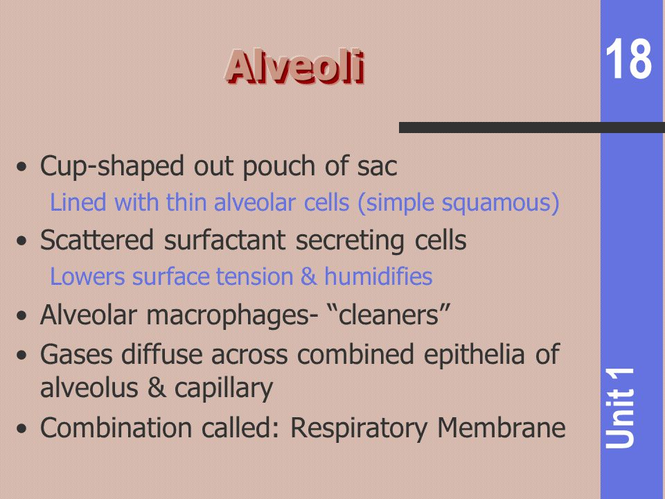 Alveoli Cup-shaped out pouch of sac