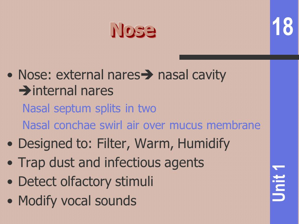 Nose Nose: external nares nasal cavity internal nares