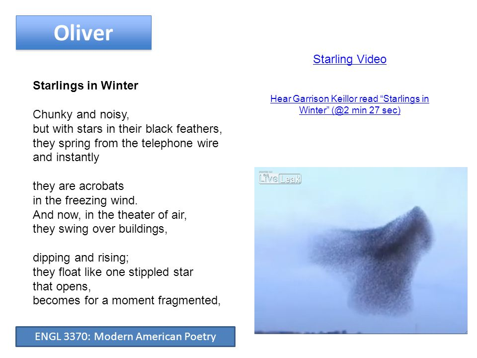 Oliver Starling Video Starlings in Winter