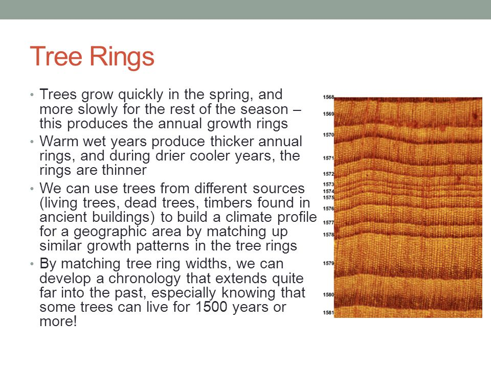 Tree Rings Trees grow quickly in the spring, and more slowly for the rest of the season – this produces the annual growth rings.