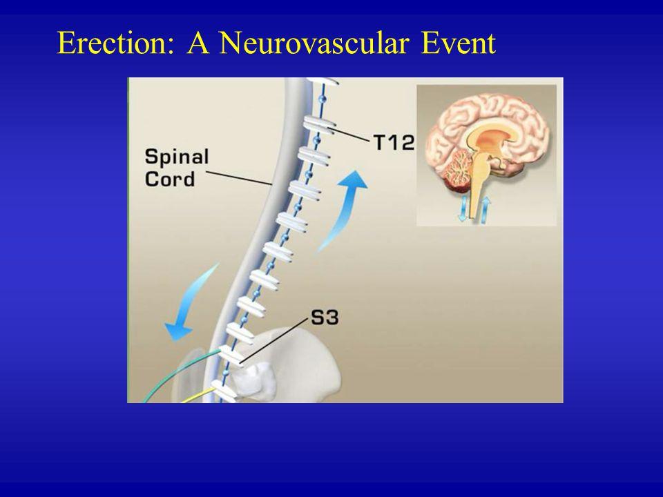 Erection: A Neurovascular Event