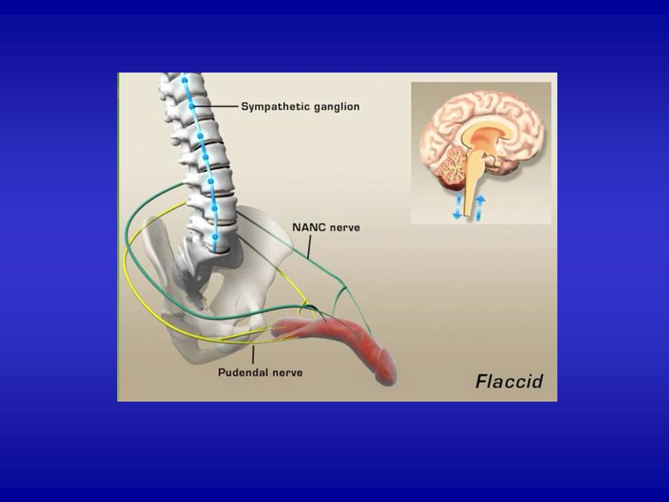 Sexual response involves a balance between inhibitory input from the sympathetic nervous system and excitatory input from the parasympathetic system.