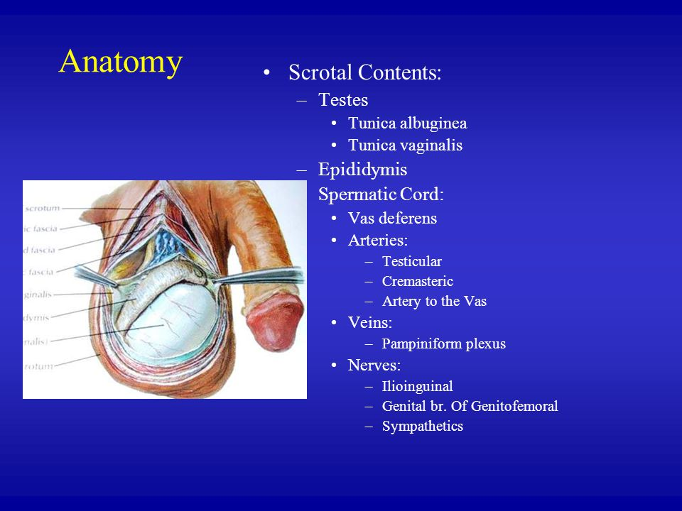 Anatomy Scrotal Contents: Testes Epididymis Spermatic Cord: