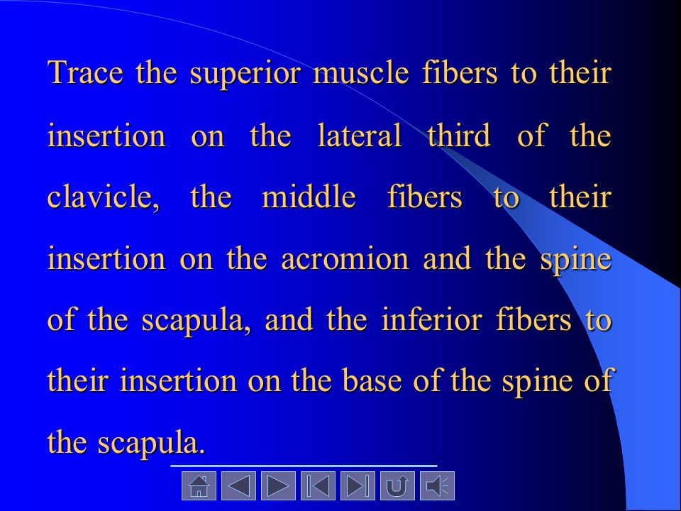 Trace the superior muscle fibers to their insertion on the lateral third of the clavicle, the middle fibers to their insertion on the acromion and the spine of the scapula, and the inferior fibers to their insertion on the base of the spine of the scapula.