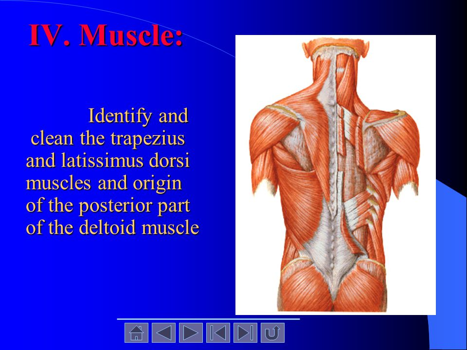 IV. Muscle: Identify and clean the trapezius and latissimus dorsi