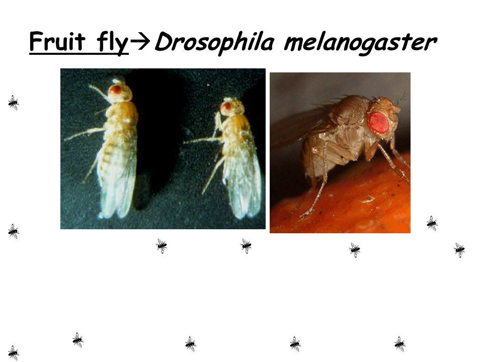 Fruit flyDrosophila melanogaster