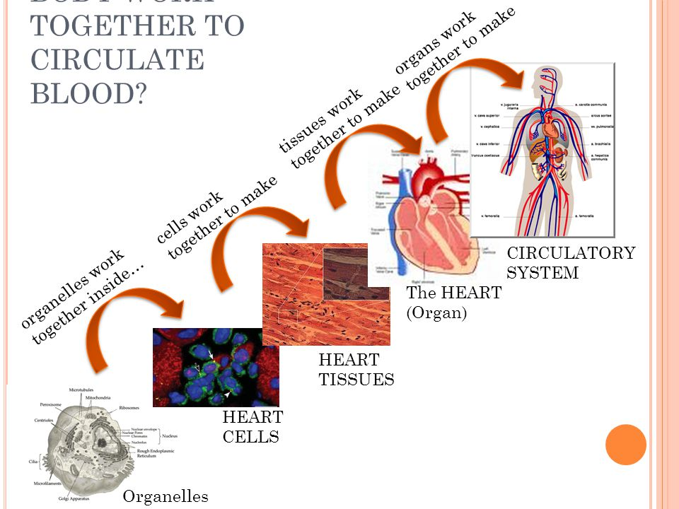HOW DOES OUR BODY WORK TOGETHER TO CIRCULATE BLOOD