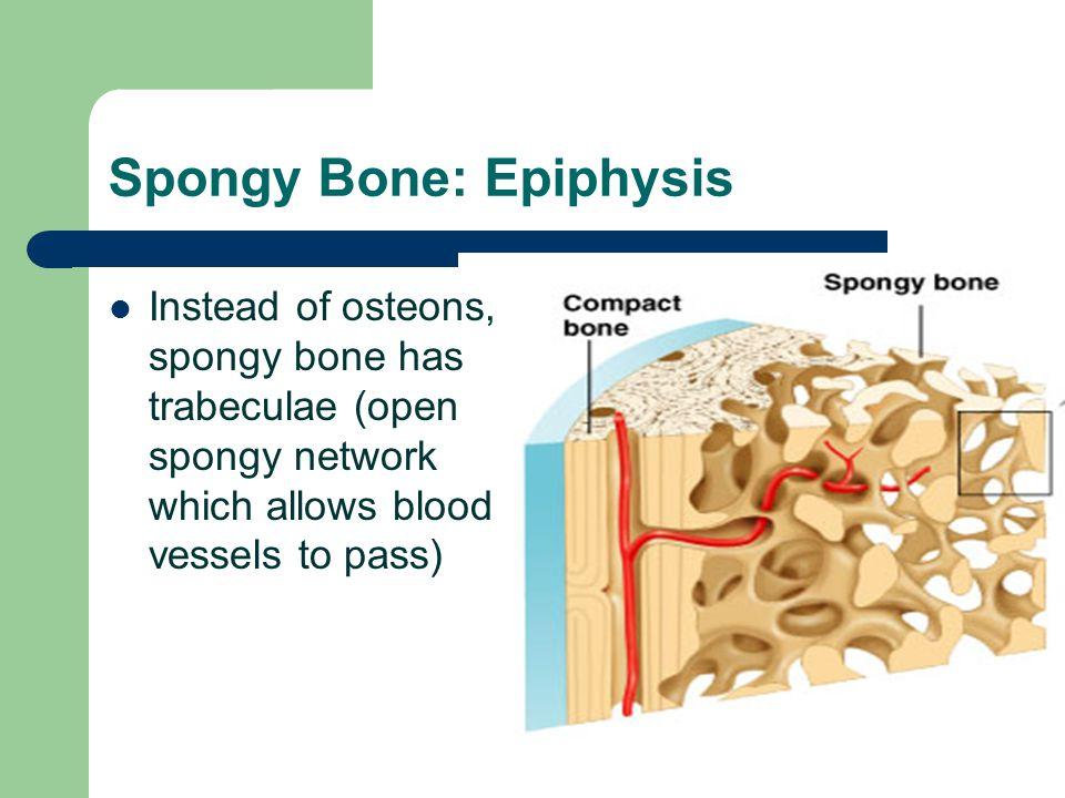 Spongy Bone: Epiphysis
